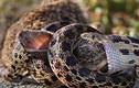 Kinh hoàng xem rắn hỗn chiến (10)