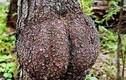 Điểm danh những thân cây quái đản nhất hành tinh (7)