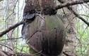 Rợn người hình ảnh thân cây nuốt chửng đồ cổ
