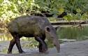 Lạ lùng lợn có vòi như voi, đến từ tiền sử