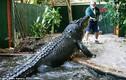 Vừa nuôi cá sấu khổng lồ vừa sợ bị ăn thịt