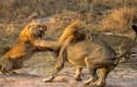 Cảnh tàn khốc sư tử đực quyết chiến cùng tình địch