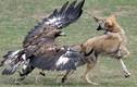 Đại bàng giết thịt chó sói - ảnh ấn tượng nhất tuần