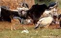 Chó rừng đi ăn cướp, bị bầy kền kền đánh tả tơi