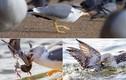 Chim mòng biển dìm chết bồ câu rồi chia nhau ăn thịt
