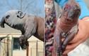 Sinh vật quái đản có thân lợn, đầu voi gây sốc
