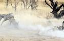 Sư tử cắn xé ngựa vằn trong khói bụi mù mịt