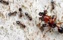 Khám phá khó tin nhưng có thật về loài kiến (1)