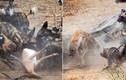 Cuộc ác đấu vì miếng ăn giữa chó hoang và linh cẩu