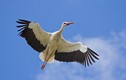 Hạc trắng ở Ba Lan - loài chim đẹp tiễn đưa vong hồn