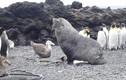 Clip sốc: Hải cẩu cưỡng ép chim cánh cụt quan hệ