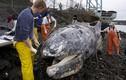 Cá voi xám dài gần 10m chết thối ngoài bến phà Mỹ