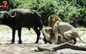 """Màn săn mồi gây """"đỏ mặt"""" nhất của vợ chồng sư tử"""