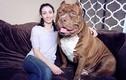 Chú chó đô con nhất thế giới không ngừng lớn