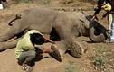 Giải cứu cụ voi mù 60 tuổi khỏi người chủ lợi dụng