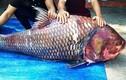 Bắt được cặp đôi cá hô khổng lồ cực đắt giá