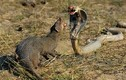 Kịch chiến kinh hoàng giữa rắn hổ mang chúa và cầy mangut