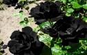 """Kinh ngạc loài hoa hồng đen huyền bí """"độc nhất vô nhị"""""""