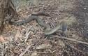Hãi hùng con rắn có nọc độc cắn một nhát chết 100 người