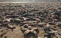 Kinh hoàng cảnh bờ biển ngập xác chết động vật