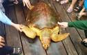 Rùa vàng ngư dân Hà Tĩnh vừa bắt được giá trị cỡ nào?