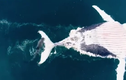 """Ấn tượng cá mập xé xác cá voi hàng """"khủng"""" qua flycam"""