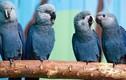 Sự thực gây sốc về loài vẹt nổi tiếng trong phim Rio