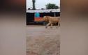 Sư tử nổi tiếng anh dũng gặp chó nhà và kết hài hước