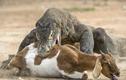 Rồng Komodo tranh nhau xé xác dê đầy kịch tính
