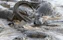 Hãi hùng ngựa vằn bị 40 con cá sấu xé tan xác