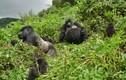 """Bất ngờ cách khỉ đột """"đưa tang"""" đồng loại đã qua đời"""