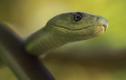 Ớn lạnh cảnh rắn mamba đen nuốt chửng chim non