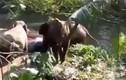Cực ấn tượng cảnh voi mẹ cảm tạ người tốt cứu sống voi con