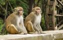 Ly kỳ chuyện Ấn Độ triệt sản loài khỉ bằng trí tuệ nhân tạo