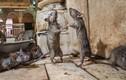 """Kỳ thú ảnh chuột """"khiêu vũ"""" tại ngôi đền Ấn Độ"""