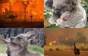 """Loạt ảnh động vật xem """"rớt nước mắt"""" trong vụ cháy rừng ở Úc"""