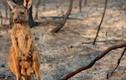 """Sự thật bất ngờ về kangaroo, """"nạn nhân"""" đáng thương vụ cháy rừng ở Úc"""