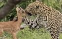 Kết đẫm máu sau hành động âu yếm của báo đốm với linh dương