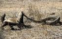 Lửng mật ra đòn hiểm, xơi tái trăn châu Phi khổng lồ