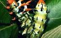 """Quỷ sừng mại châu và những loài sâu bọ nhìn """"quái thú"""" nhất"""