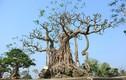 Chiêm ngưỡng cây đa cổ mọc trên đá, quý hiếm bậc nhất VN