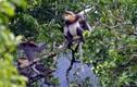 Điểm danh những loài voọc đặc hữu quý hiếm nhất Việt Nam