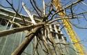 Chùm ảnh: Cây xanh mới trồng chết khô trên đường Hà Nội