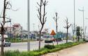 Ảnh: Hàng loạt cây xanh chết khô chờ đổ đè người ở Hà Nội