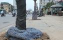 Ảnh: Cây xanh chết hàng loạt, quấn chăn bông ở Hà Nội
