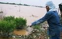 Nước sông Hồng lên cao, hàng nghìn gốc đào Nhật Tân bị nhấn chìm