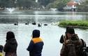 """""""Bảo mẫu"""" thiên nga ở hồ Thiền Quang: Để mất con nào là mất Tết luôn!"""