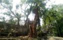 Hà Nội bán cây sưa 100 tỷ đồng: Dân buôn gỗ không dám mua