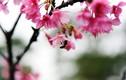 Hoa anh đào Nhật Bản bung nở giữa trời Hà Nội đúng Tết Nguyên đán