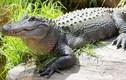 Khán giả xem xiếc tháo chạy vì cá sấu 4m rơi xuống sân khấu
